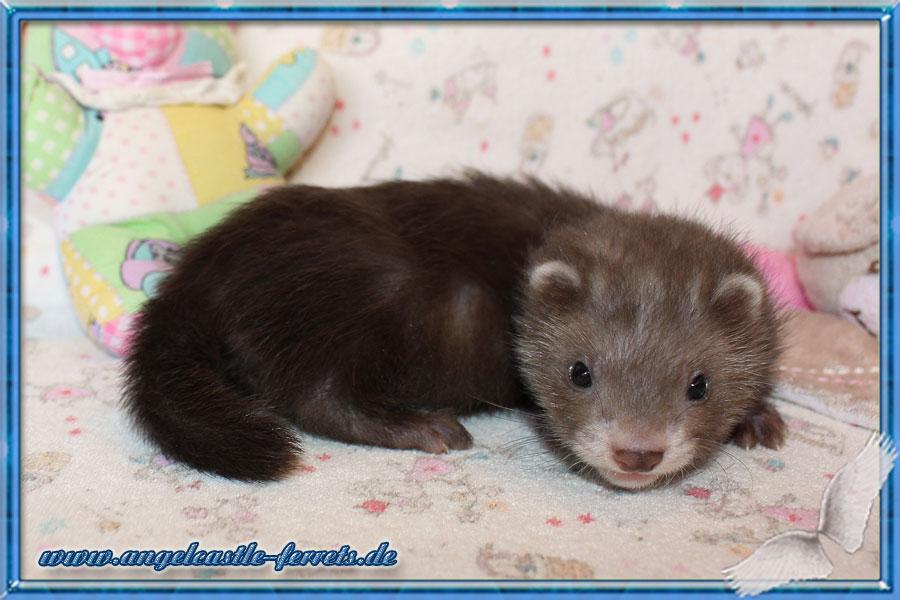 Banshee, Chocolate Halblanghaar Fähe, 6 Wochen alt, Bleibt bei uns !