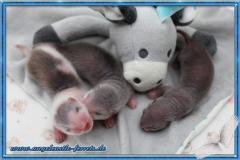 Megamis Welpen 1 Wochen alt